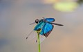 Blue winged D fly_9805
