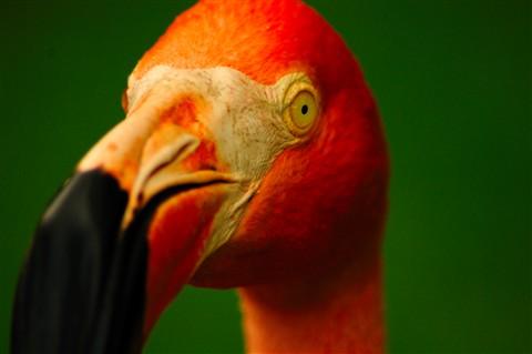 Posing Flamingo