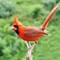 Northern Cardinal, male: