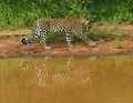 Leopard near the watering hole