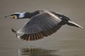 The great cormorant is one of the best fishers among all species. Flying fast just a bit above the water surface, the bird is one of most elegant and beautiful as well.
