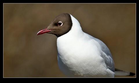Black_headed_Gull-(Chroicocephalus_ridibundus)