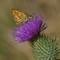 Elwha_ButterflyThistle_1_082110_1_1_1200px_reduced