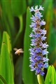Pickerel Weed in wetland swamp