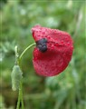 A crying poppy