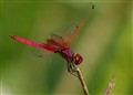 pinkDragonFly