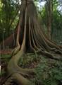 Buttressed Moreton Bay fig