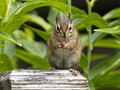Chipmunk Eating a Berry in our Garden