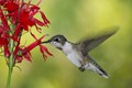 Ruby-throated Hummingbird & Cardinal Flowers