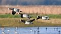 Barnacle geese.
