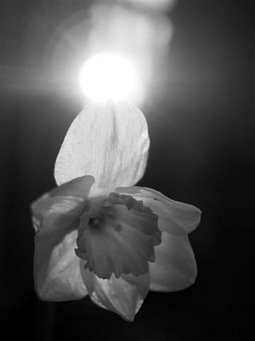 Halo on the daffodil bw