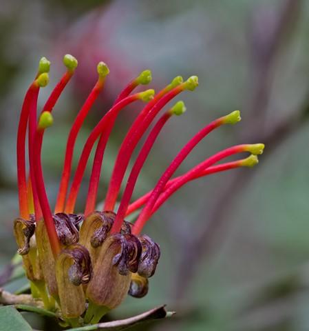 7080 Grevillea aquifolium Flower 2