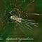 greenleggedspider01