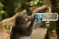 A monkey in Bali's Monkey Sanctuary stole my water bottle and proceeded to open it and have himself a little drink.