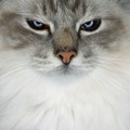 Biccello, male Birman - Maine Coon mix