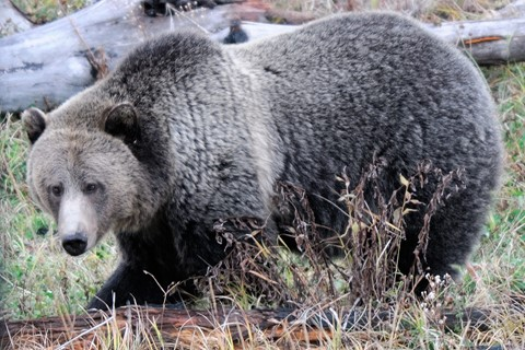 Grizzly sow_5772