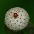 Red Spider Mite?