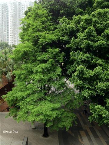 Tree in Shatin Town centre, Hong Kong