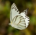 Indonesian butterfly in flight