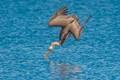 Diving Pelican-2422