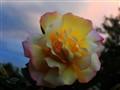 rose at sunset