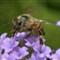 Bee_2