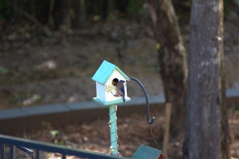 Bluebird and Babies