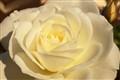 rose 101-1889