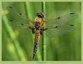 A newly hatched Four-spotted chaser (Libellula quadrimaculata - immature male) sits resting in the reeds, soaking up some warmth from the sun, preparing for an eraly flight.
