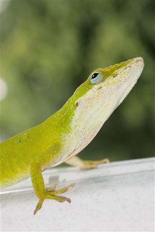 Lizard at the Mastropole's
