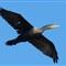 Cormorant 17 120811