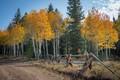 Changing Aspen leaves near Granby Colorado, USA