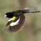 154451463_9MVUeUYh_WhitewingedWidowbird-2