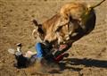 "Bull Stomps Bull ""Rider"""