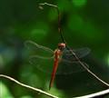 SA dragonfly