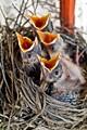 American Robbin Nest