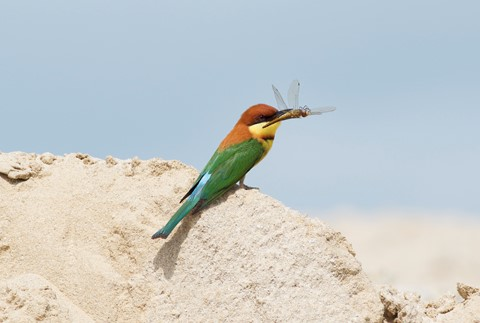 Chestnut-headed Bee Eater : Digital Photography Review - photo#42