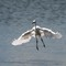 Snowy Egret landing-3