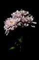 flower 4 Ma