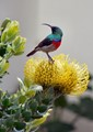 Sunbird on protea
