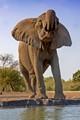 Female Elephant at Waterhole, Botswana, Africa