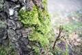 Moss on birch tree