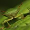Shield bug - Palomena prasina (Green Shield Bug) (3)