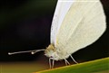 White Butterfly sharp