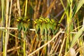 African Bee-eaters huddled together for warmth - early morning on the edge of the Okavango Delta - Botswana.