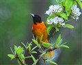 ORIOLE AND PEAR BLOSSOMS
