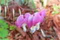 Last 3 bleeding hearts