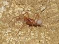 Blind cave spider