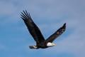Bald Eagle at Lake Olathe