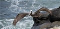 Brown Pelican - La Jolla, CA